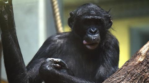 Bonobo Bili in Wuppertal