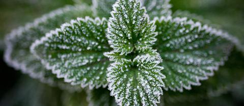 Sieht schon hübsch aus: Eiskristalle auf einer Pflanze nach einer kalten Nacht