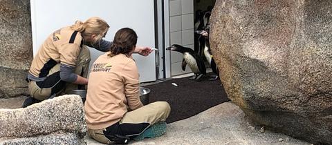Humbolt-Pinguine betreten erstmals ihre neue anlage im Frankfurter Zoo