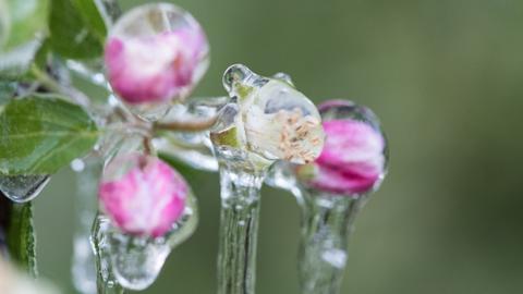 Frost Apfelblüte