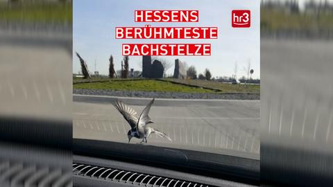 Hessens berühmteste Bachstelze