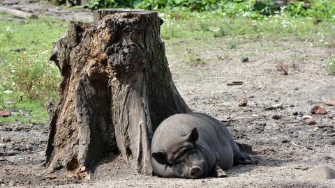 Hängebauchschwein im Wildpark