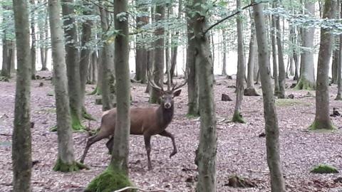 Hirsch Hansi aus dem Bergwildpark Meißner