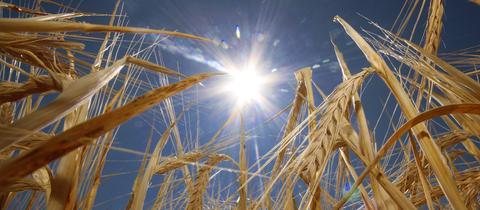 Das Getreide lässt in der heißen Mittagssonne die Ähren hängen