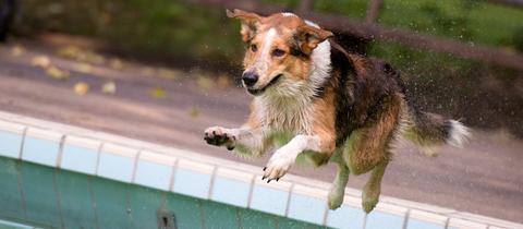Hund im Freibad beim Hundeschwimmen