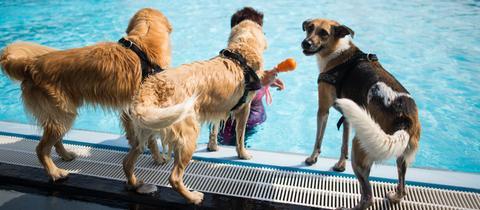 Hunde im Freibad Hundeschwimmen