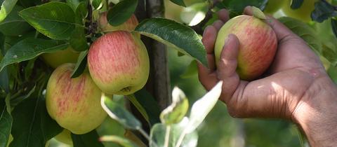 Apfel ernten