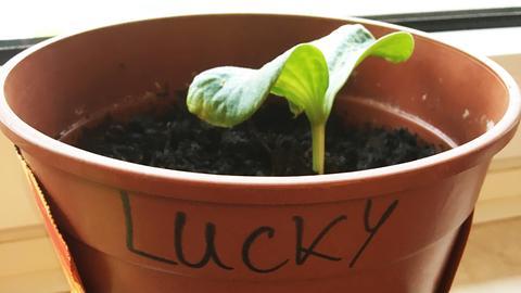 """Die Kita Kunterbunt in Lollar hat ihrem Kürbis einen aussagekräften Namen gegeben: """"Lucky"""", also der Glückliche. Wenn das nichts hilft!"""