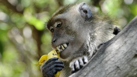 Ein Affe im Baum isst eine Banane