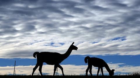 Zwei Lamas grasen vor aufziehenden Wolken auf der Wiese.