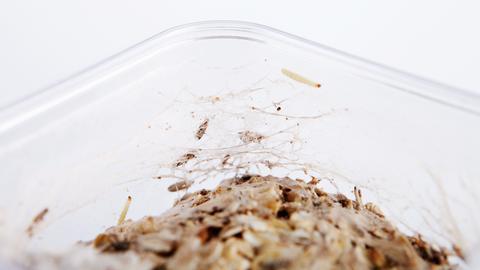 Motten Gespinste im Müsli