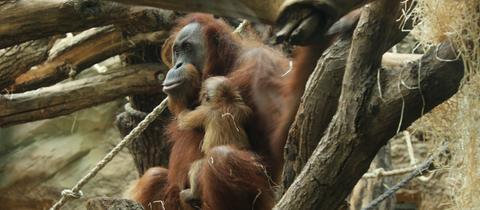 Orang Utan Baby im Frankfurter Zoo