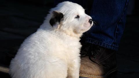 Pyrenäen Berghund