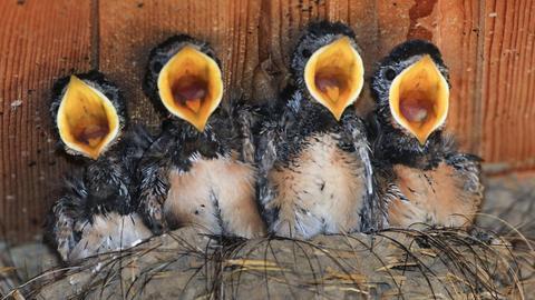 Vier junge Schwalben schreien im Nest nach Futter.