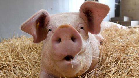 Ein Schwein liegt im Stroh
