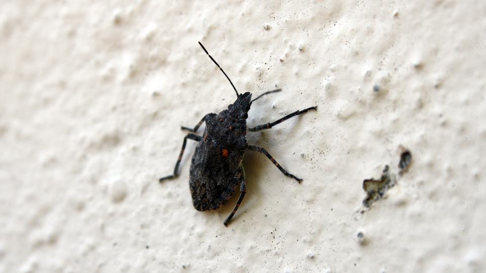 große käfer in der wohnung