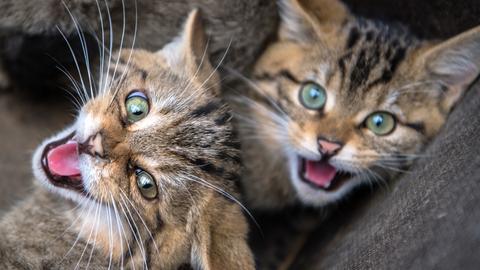 Wildkatzenjungen überwintern im Opelzoo