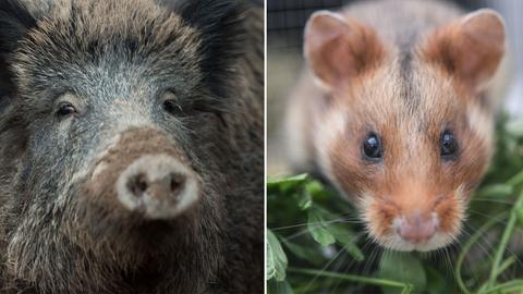 In der Dämmerung offenbar zum Verwechseln ähnlich: Wildschwein und Hamster