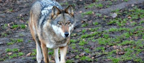 Wolf im Wildpark Knüll